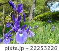 春日大社萬葉植物園 菖蒲 22253226