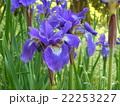 春日大社萬葉植物園 菖蒲 22253227