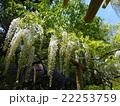 春日大社 藤 白 22253759