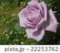 薔薇 紫 22253762