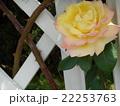 薔薇 黄色 22253763