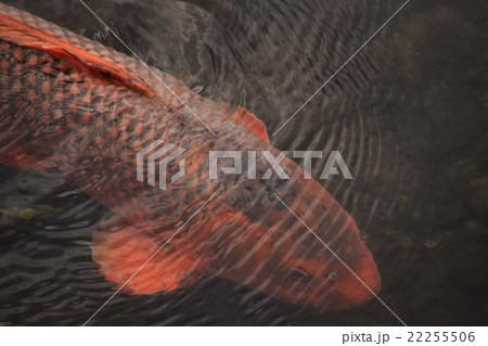 鯉、赤い鯉、落合川 22255506