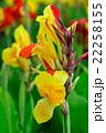 カンナ 蕾 花の写真 22258155