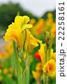 カンナ 花 開花の写真 22258161