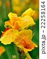カンナ 花 開花の写真 22258164