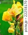 カンナ 花 開花の写真 22258170