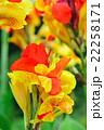 カンナ 花 開花の写真 22258171