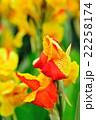 カンナ 花 開花の写真 22258174
