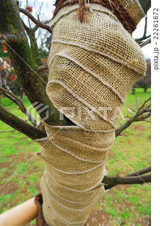 梅の木の養生 22261672