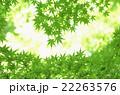 新緑モミジのシルエット 22263576