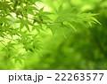 新緑のモミジ 22263577