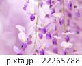 藤 花 植物の写真 22265788