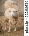 羊のポートレート 22268630