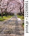 桜のアーチ 22268661
