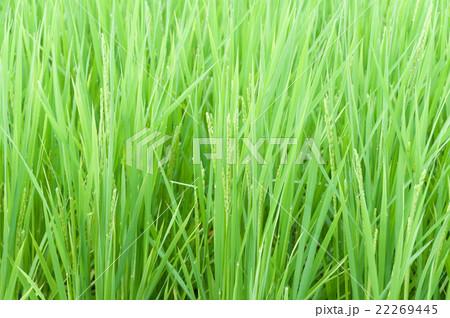 成長過程の稲 22269445