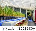 Rice Plant on conveyor belt 22269800