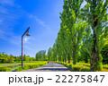 水元公園 ポプラ 並木道の写真 22275847