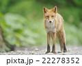キタキツネ 22278352