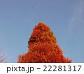 秋空とメタセコイア 22281317