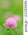 花 紫詰草 赤詰草の写真 22285696