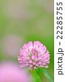 花 紫詰草 赤詰草の写真 22285755