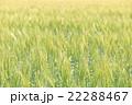 麦 麦畑 畑の写真 22288467