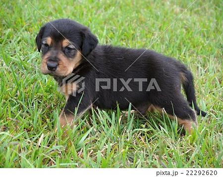 ニュージーランドハンタウェイの子犬 22292620
