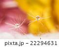 タンポポの綿毛、ガーベラ、滴、接写、マクロ。 22294631