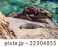 New Zealand fur seal (kekeno) sunbathing on a rock 22304855