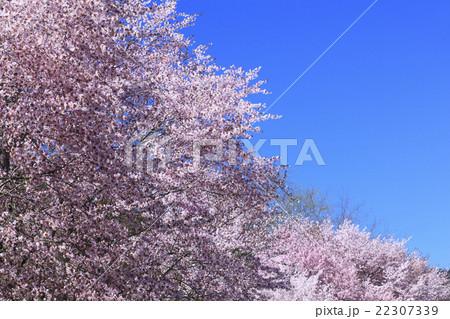 北海道 富良野市 麓郷街道の桜 22307339
