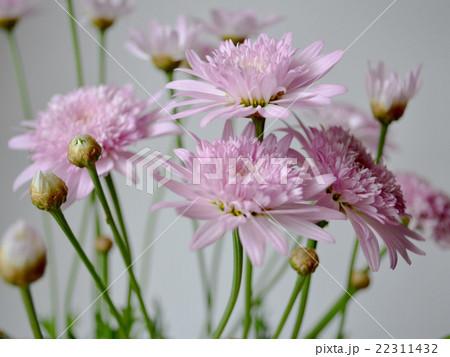 花 ヤグルマギク ピンク 複数 22311432