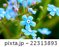 Closeup of blue flowers forget-me-nots. Blurred 22313893