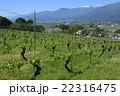 山 葡萄 葡萄畑の写真 22316475