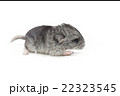 Chinchilla baby isolated over white background 22323545