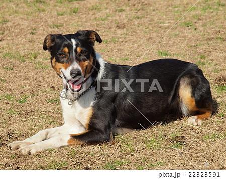 牧羊犬(ストロングアイ・ヘディングドック゛) 22323591