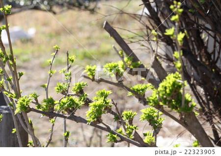 芽吹きだすうこぎの芽 22323905