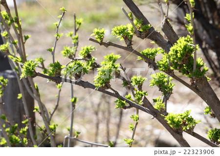 うこぎの葉っぱ 22323906