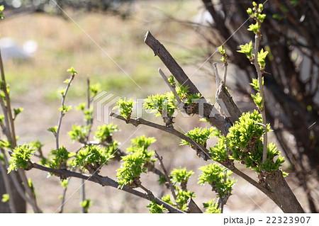 陽光とウコギの葉 22323907