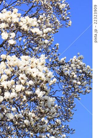 春爛漫の白木蓮 22323909