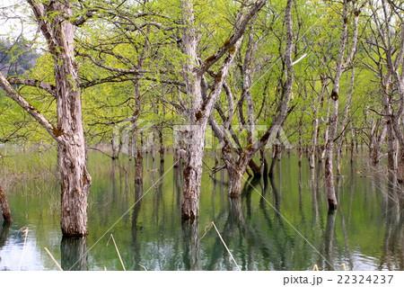 湖面に生きる木々 22324237