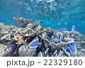 サンゴ 22329180