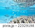 サンゴ 22329198
