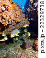 熱帯魚 水中写真 海水魚の写真 22329738