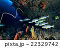 熱帯魚 水中写真 海水魚の写真 22329742
