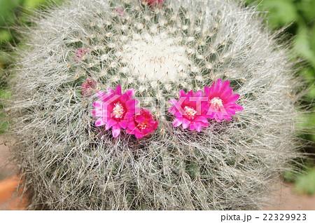 マミラリア:サボテンの花(タマオキナ:玉翁) 22329923