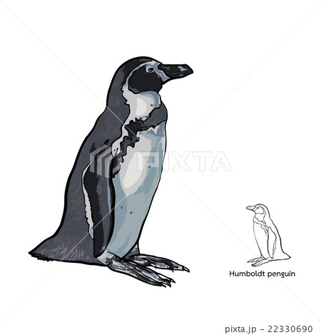 Drawing of Humboldt penguin on white backgroundのイラスト素材 [22330690] - PIXTA