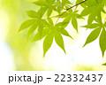 楓 若葉 青葉の写真 22332437