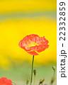 満開のポピー 22332859