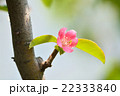 カリン 花 カリンの花の写真 22333840