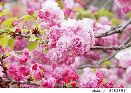 "大阪・造幣局の桜""松前紅紫"" 22333914"
